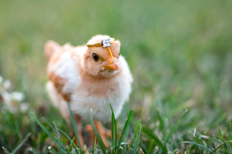 engagement ring with baby chick
